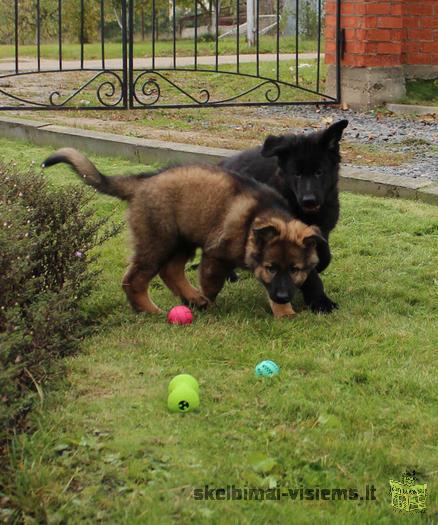 Продаются щенки немецкой овчарки черного и темно зонарного окраса
