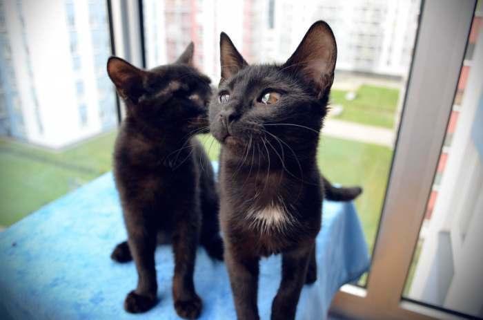 : Dovanojama nuostabi, skiepyta, sterilizuota, 5 mėn. katytė Muna!