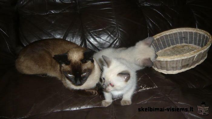 2 mėn. Siamo katinėliai