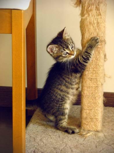2 mėn. katytė Šatė ieško namų