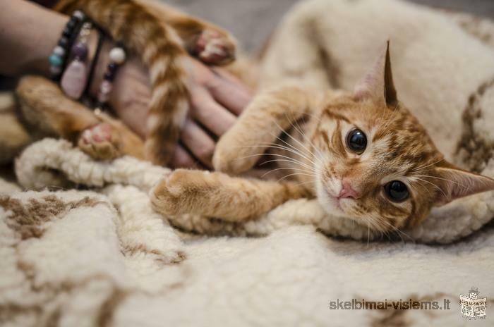 8-9 mėn. du ryži katinėliai ieško šeimininkų!