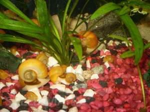 Akvariumo sraiges - Ampuliarijos.