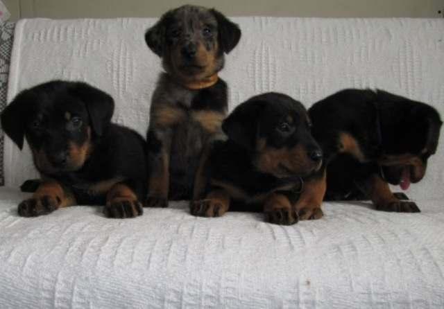 Boserono veislės šuniukai