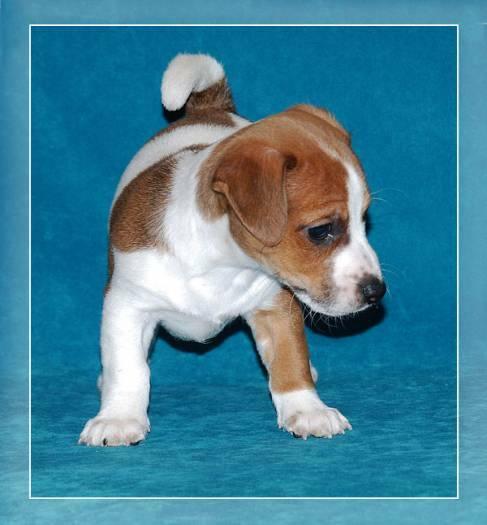 Džeko Raselo terjero šuniukai