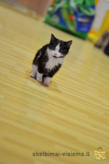 DOVANOJAMAS 2 mėn. nuostabus katinėlis Spirgutis!