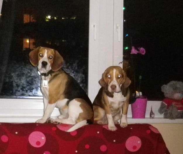 Dingo du Biglių veislės šunys