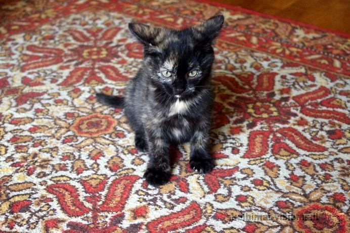 Dovanojama žavi 2,5 mėn. marmurinė katytė