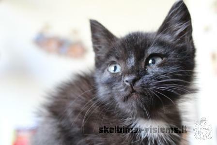 Dovanojama 1.5 mėn katytė