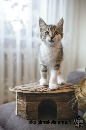 Dovanojama 2,5 mėn. meili katytė Java!