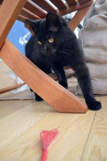 Dovanojama 4mėn. sveika, juoda, puiki katytė Čela!