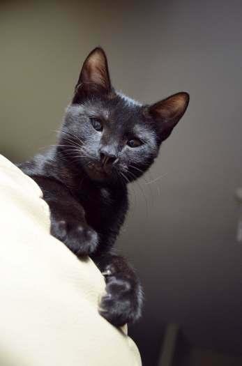 Dovanojama angeliško būdo,skiepyta,jauna katytė Muna