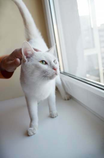 Dovanojama jauna,sterilizuota,rami balta katytė