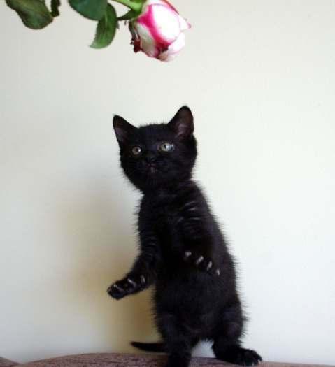 Dovanojama juoda 2mėn. katytė