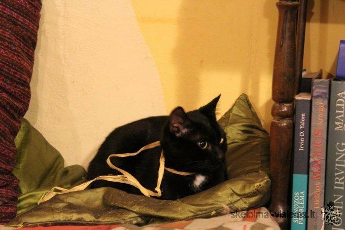 Dovanojama katytė – juodoji gražuolė