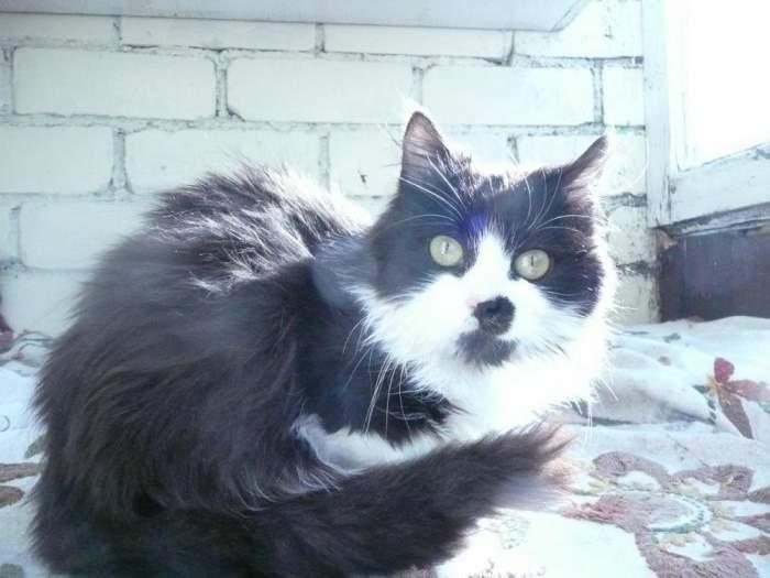 Dovanojama labai graži katė