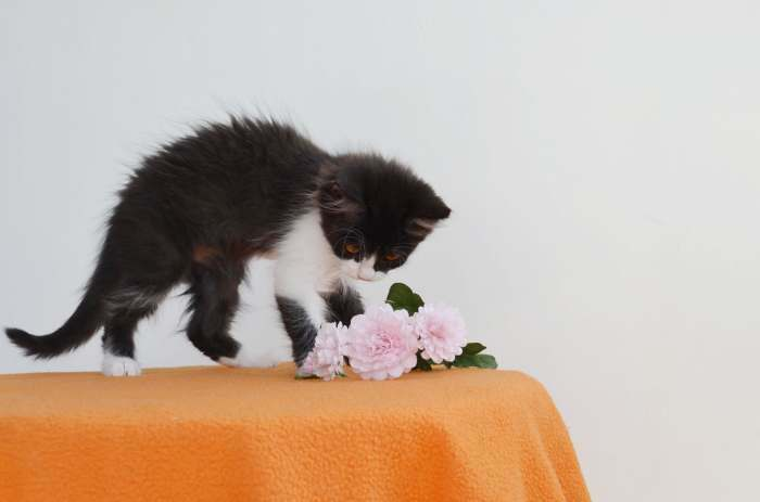 Dovanojama maža, tobula katytė Klara!