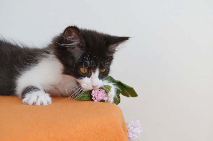 Dovanojama nepaprasto švelnumo maža katytė Klara!