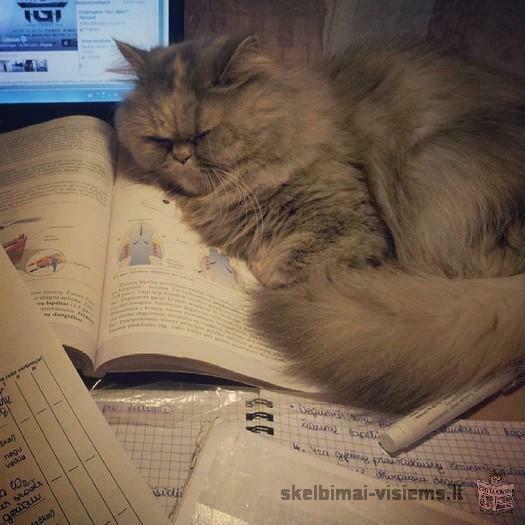 Dovanojama persų katytė