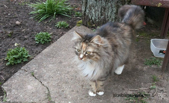 Dovanojama sterilizuota katytė vardu Sofija