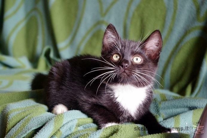 Dovanojamas 2,5 mėn. juodai baltas kačiukas