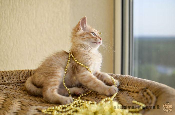 Dovanojamas 2 mėn. fantastiškas katinėlis!