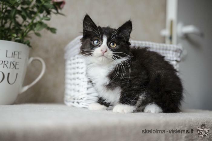 Dovanojamas 2 mėn. nuostabiausias kačiukas Lietutis!