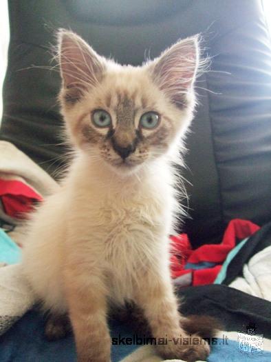 Dovanojamas 3 mėn. įspūdingo grožio kačiukas!