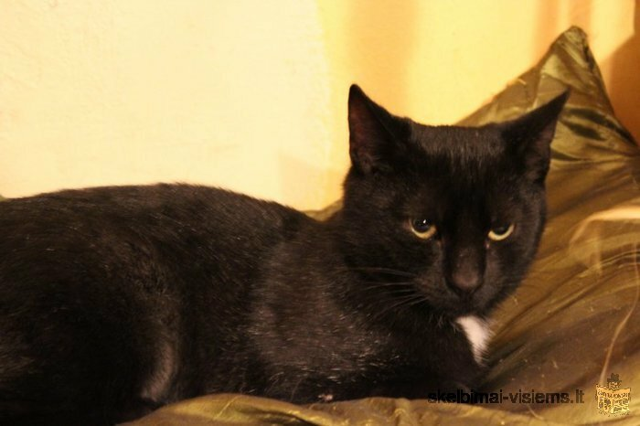 Dovanojamas draugiškas jaunas švelnus katinėlis