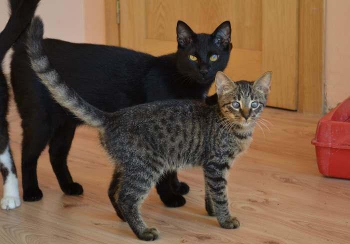 Dovanojamas jaunas, kastruotas neeilinis kačiukas Nabis!
