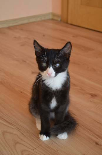 Dovanojamas jaunas, kastruotas neeilinis kačiukas Tiamo!