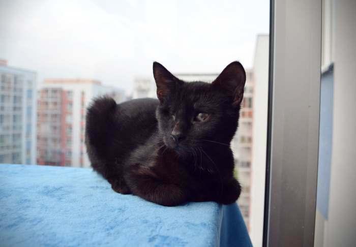 Dovanojamas jaunas, kastruotas, puikus kačiukas Bliuzas!