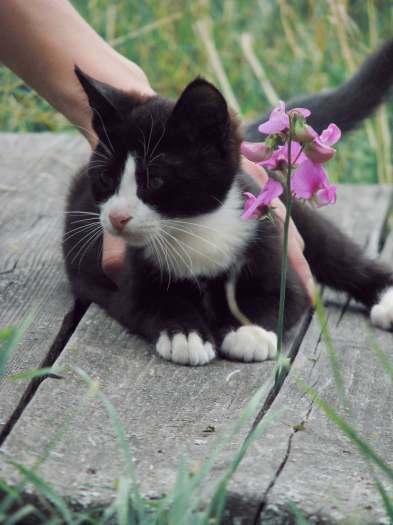 Dovanojamas jaunas, neeilinis kačiukas Kopis!