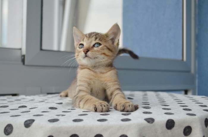 Dovanojamas mažas kačiukas Mukas, kuris niekada nebus didelis!