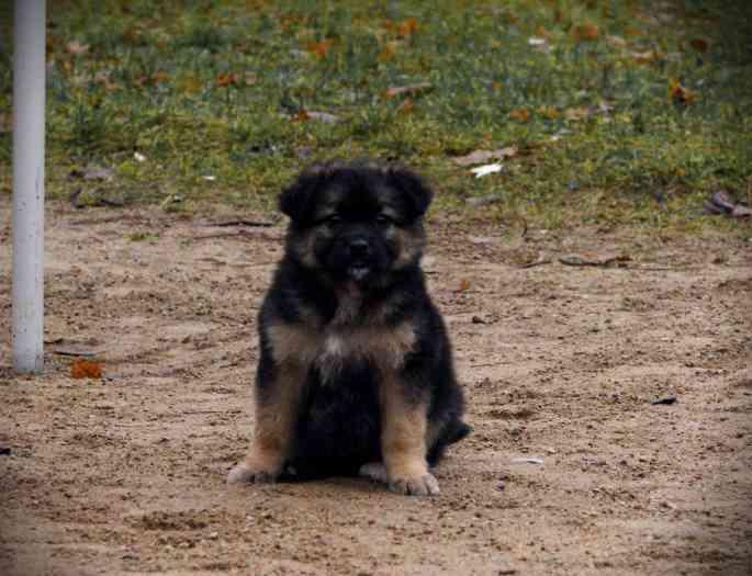Dovanojami šuniukai- nuostabūs du vokiečių aviganio mišrūnai!