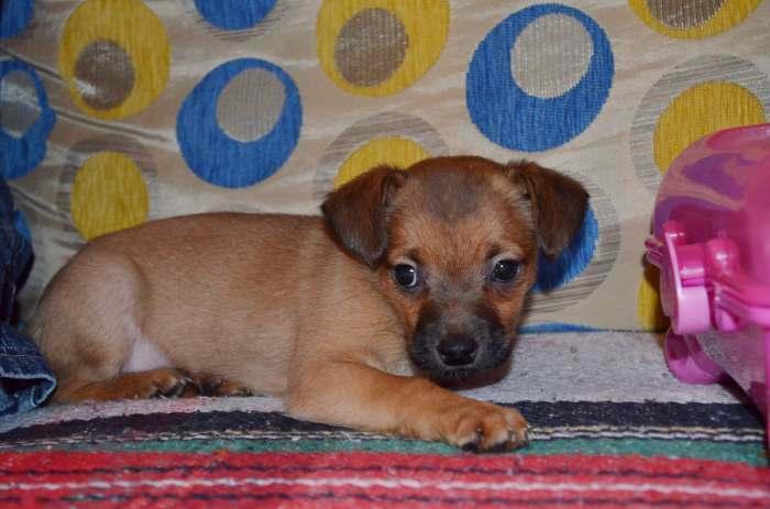 Dovanojami 1,5 mėn. nuostabūs mažaūgiai šuniukai!