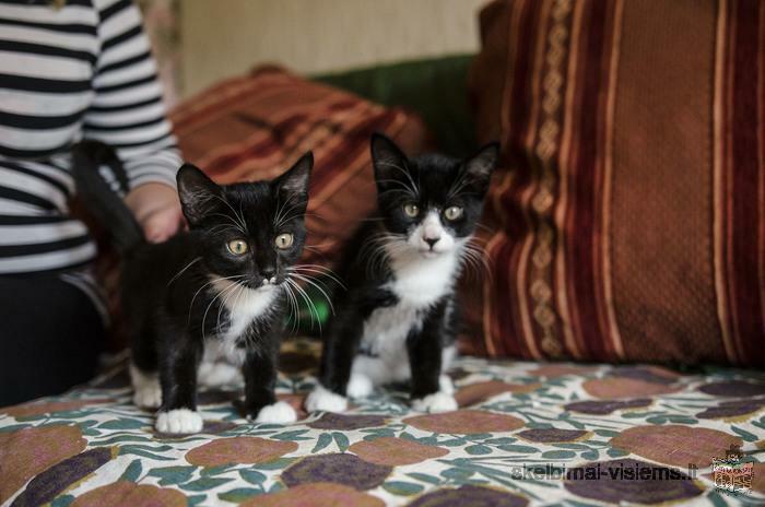 Dovanojami 2,5 mėn. nuostabūs kačiukai!