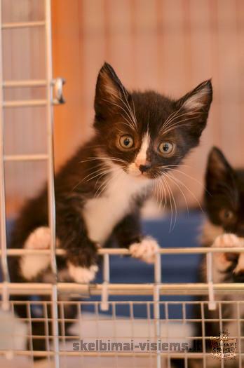 Dovanojami 2 mėn. skiepyti kačiukai - margučiai!