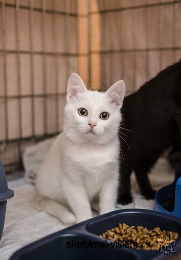 Dovanojami 3,5 mėn. tobulo grožio kačiukai!