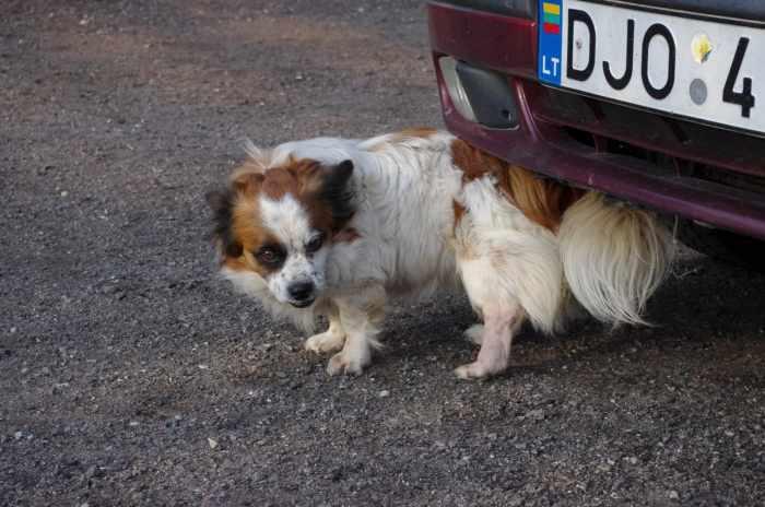 Dovanojami du nedidelio ūgio šuniukai
