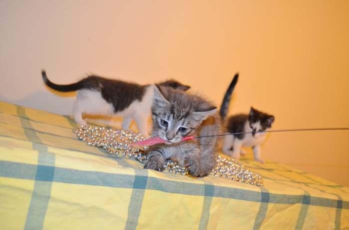 Dovanojami trys maži, jaukūs, 1,5 mėn. kačiukai!