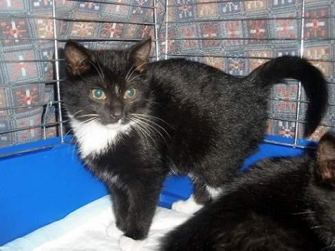 Dovanoju 4 mėn. juodai baltą katytę