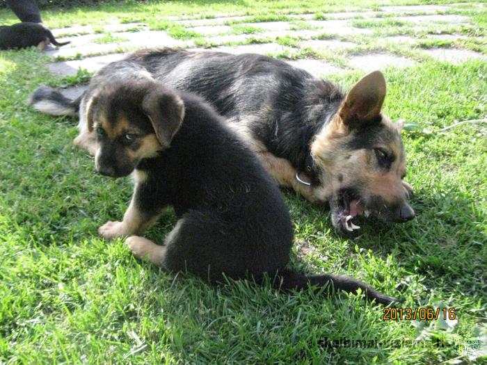 Dovanoju Vokiečių aviganio šuniukus. Šuniukai yra dviejų mėn. amžiaus. puikus draugas ir sargas.