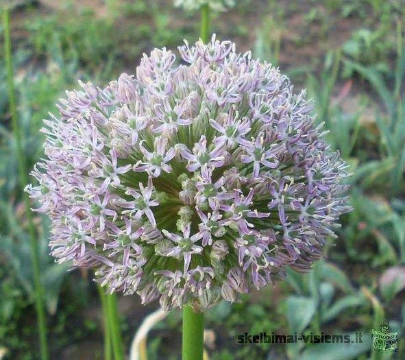 Gėlių sodmenys: tulpės, vilkdalgiai, vėlyviai, margutės