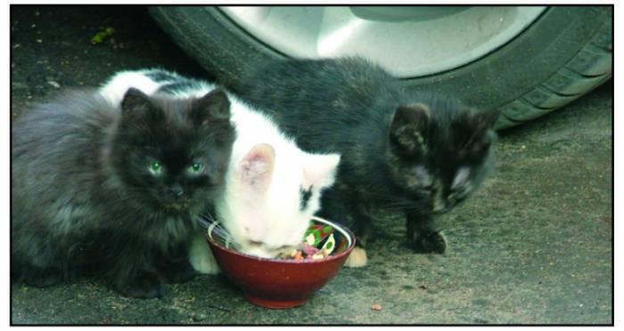Ieškau šeimininkų kačiukams