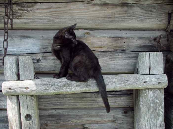 Juodoji katytė Muna