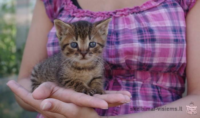 Kačiukas gražuoliukas laukia nauju šeimininku