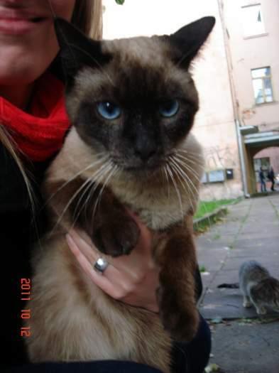 Kaune, Daukšos g. rasta siamo katė.