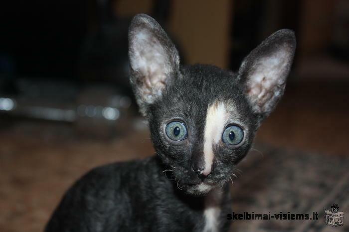 Kornish rex katyte ir katinukas