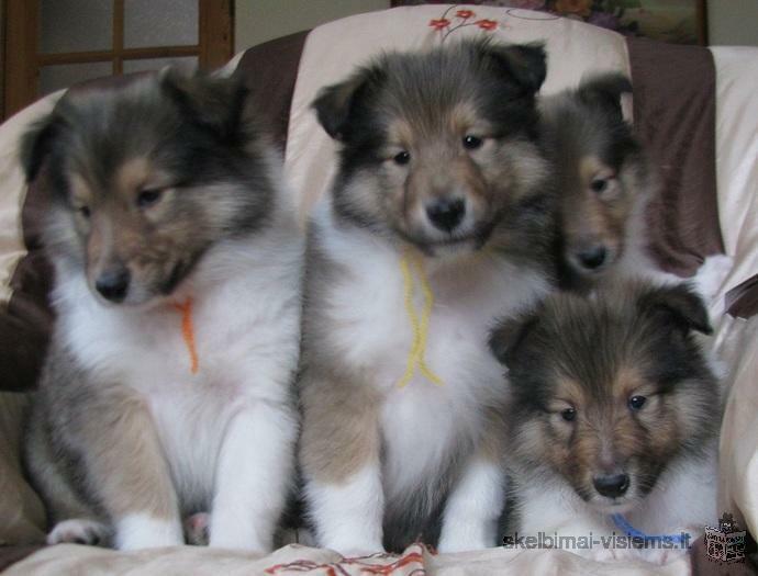 PARDUODAMI KOLIŲ (LESĖ) veislės šuniukai su dokumentais