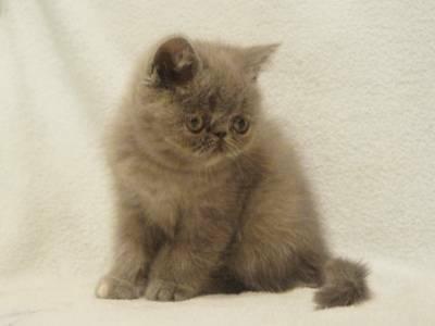 Parduodami Egzotų ir Persų veislės kačiukai